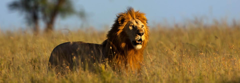 lion_kenya_kenia_masai-mara_great-migrations_safari